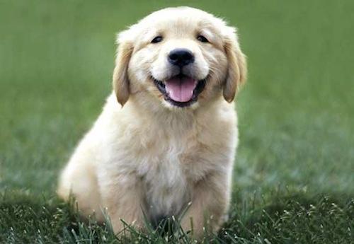 https://dpadventures.files.wordpress.com/2010/07/golden_retriever_puppy_smiling.jpg